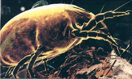 dust mite crawling in carpet eating dead skin cells in San Francisco carpet